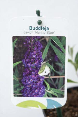 Budleja Dawida 'Nanho Blue'