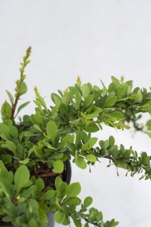710-07231-Berberis-thunbergii-Green-Carpet