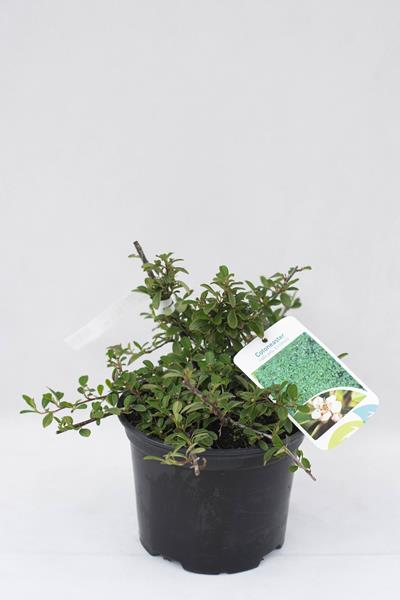 710-07235-Cotoneaster-radicans-Eichholz