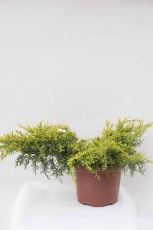 710-07242-Juniperus-x-pfitzeriana-Gold-Star-C75