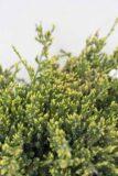 710-07243-Juniperus-squamata-Holger