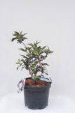 710-07247-Sambucus-nigra-Black-Beauty-Gerda-PBR
