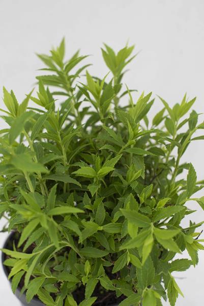 710-07249-Spiraea-japonica-Albiflora