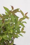 710-07250Spiraea-japonica-Anthony-Waterer-C2