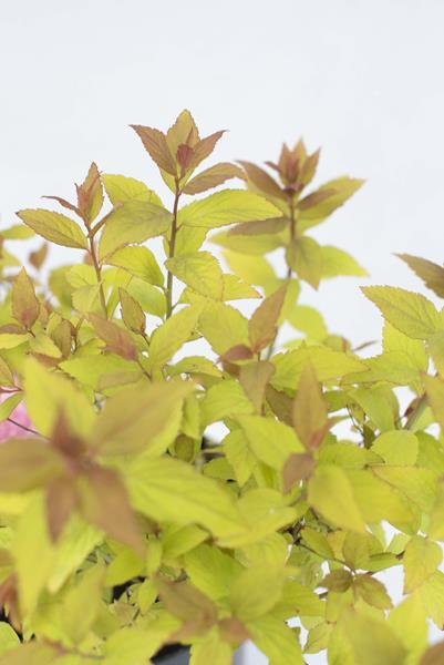 710-07251-Spiraea-japonica-Firelight-C2