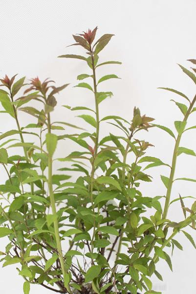 710-07252-Spiraea-japonica-Froebelii-C2