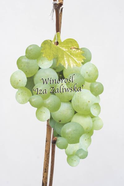 710-11955-VitisIza-Zaliwska