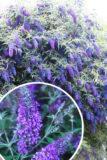 Budleja Niebieska (łac. Buddleja Davidii 'Nanho Blue')
