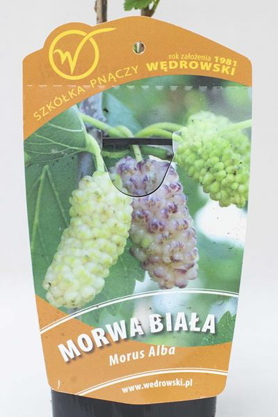 130-00978 Morus alba - Morwa biała (2)