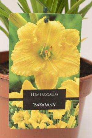 520-13491 Hemerocallis 'Bakabana' C2 (2)