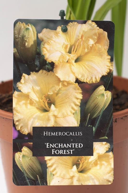 520-13493 Hemerocallis 'Enchanted Forest' C2 (2)