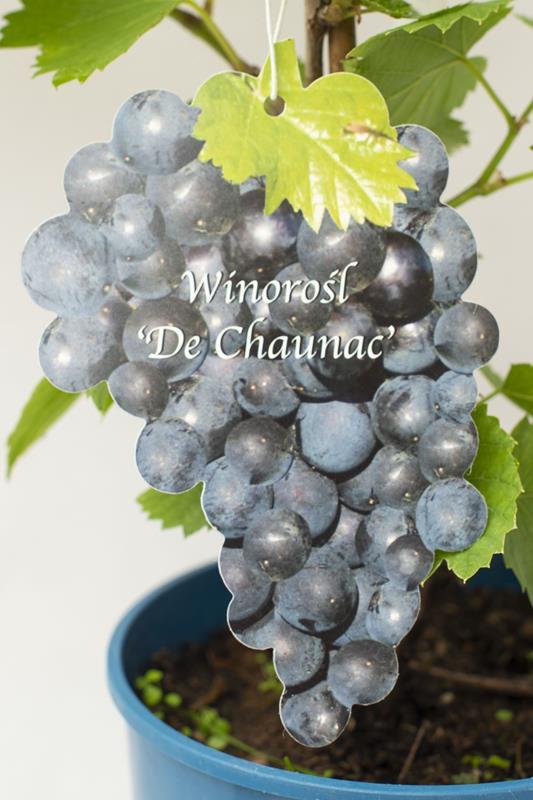 710-00037 Vitis'De Chaunac' (2)