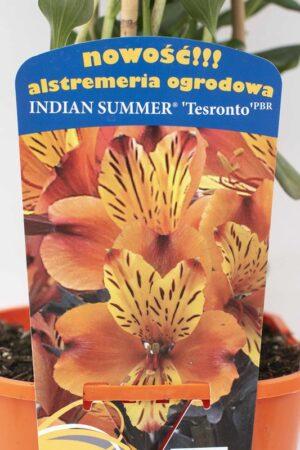 710-00057 Alstroemeria Indian Summer'Tesronto' C2 (1)