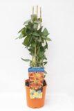 710-00057 Alstroemeria Indian Summer'Tesronto' C2 (2)