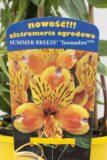 710-00062 Alstroemeria Summer Breeze'Tessumbre' C2 (2)