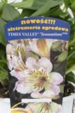 710-00063 Alstroemeria Times Valley'Tessumtime' C2 (2)