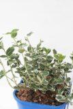 710-00064 Euonymus fortunei'Emerald Gaiety' C2 (2)