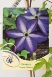 710-00166 Clematis'Venosa Violacea' C2 (2)