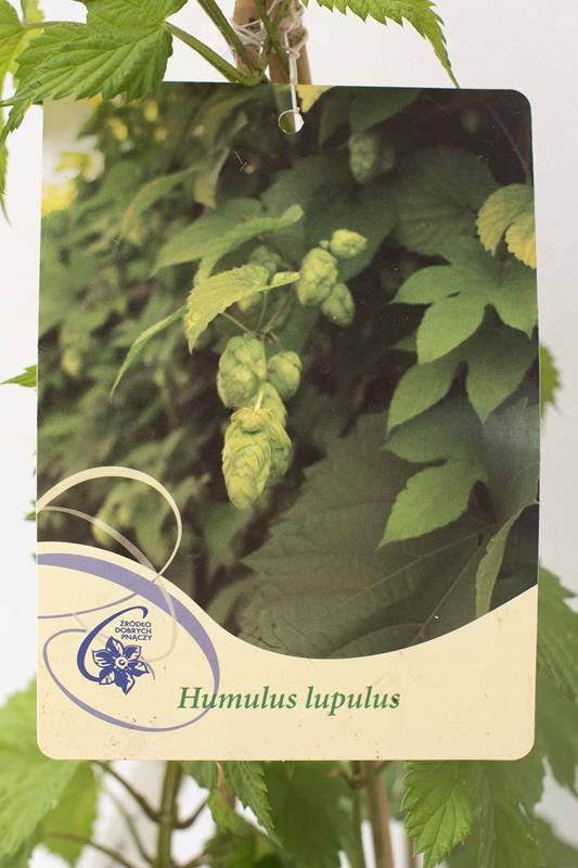 710-00173Humulus lupulus C2 (2)