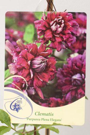 710-03043 Clematis'Purpurea Plena Elegans' C2 (2)