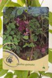 710-03046 Akebia quinata C2 (2)