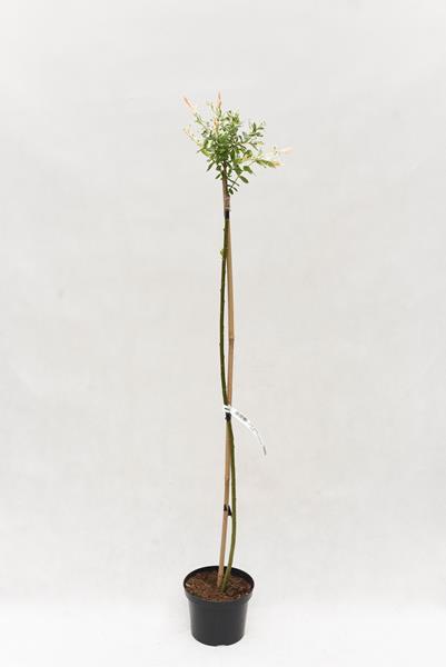 710-04709 Salix int. 'Hakuro- nishiki' 120cm C5