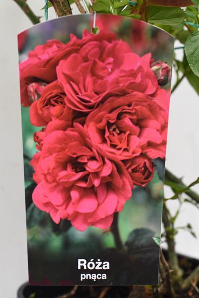 710-04712 Rosa arvensis 'Sympatia' C6 (2)