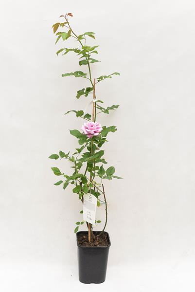 710-04713 Rosa arvensis 'Indigolette' C6 (1)