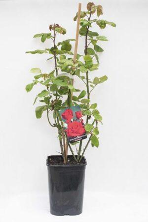 710-04715 Rosa multiflora 'Poulman' C6 (1)