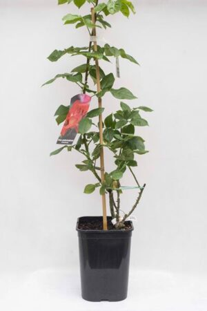 710-04716 Rosa multiflora 'Kronenbourg' C6 (2)