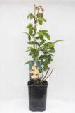 710-04717 Rosa multiflora 'Peace' C6 (1)