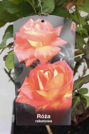 710-04720 Rosa 'Samba' C6 (2)