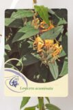 710-16001 Lonicera acuminata C2 (1)