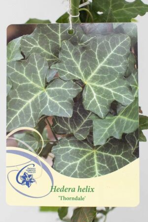 710-16390 Hedera helix'Thornadale' C2 (2)
