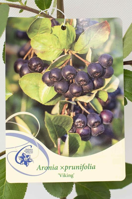 710-22444 Aronia prunifolia'Viking' C2 (2)