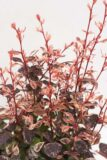 710-22606 Berberis thunbergii PINK BIRD 'Josaber2' PBR C2 (2)
