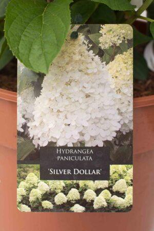710-22607 Hydrangea paniculata 'Silver dollar' C7,5 (2)