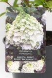 710-22608 Hydrangea paniculata MAGICAL MONT BLANC 'Kolmamon' C2 (2)