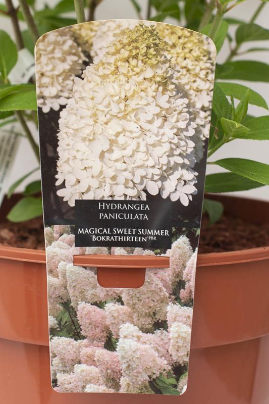 710-22609 Hydrangea paniculata MAGICAL SWEET SUMMER 'Bokrathirteen' PBR C7,5 (2)