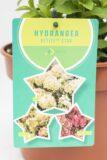 710-22610 Hydrangea paniculata PETITE STAR 'Coustar02' PBR C3 (2)