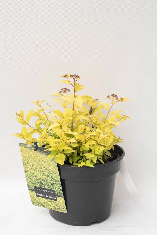 710-22611 Spraea japonica 'Golden Princess' C2