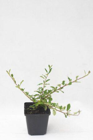 Irga rozesłana 'Eichholz' (Łac. Cotoneaster radicans 'Eichholz')