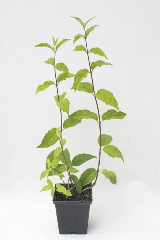 905-00140 Deutzia hybrida 'Mont Rose'