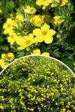Potentilla fruticosa 'Longacre' Pięciornik krzewiasty żółty