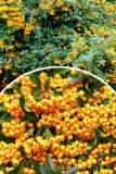 Pyracantha 'Golden Charmer' Ognik pomarańczowo-żółty