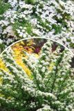 piraea nipponica 'June Bride' Tawuła nipońska biały obłok