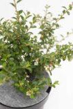 905-00155 Cotoneaster suec.'Coral Beauty' (2)