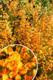 905-00156 Cytisus'Apricot Gem'