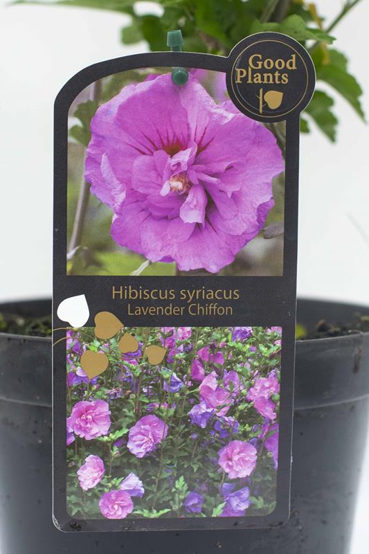 905-00158 Hibiscus syr.'Lavender Chiffon' (2)