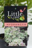 905-00160 Hydrangea panic.'Little Lime' (2)